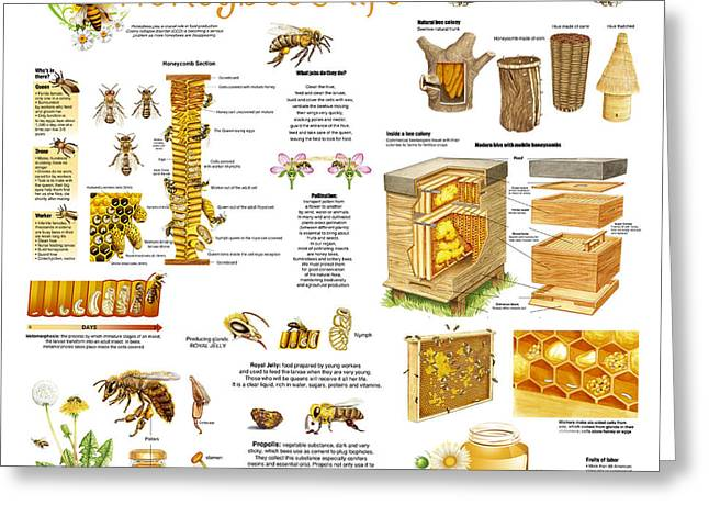Honey Bees Infographic Greeting Card