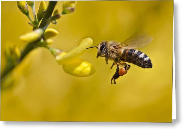 Honeybee Apis Mellifera Greeting Card