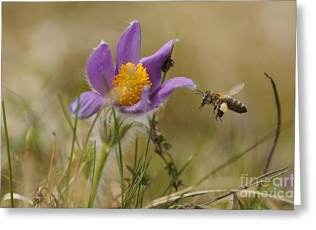 Honeybee At Pasque Flower Greeting Card by David & Micha Sheldon