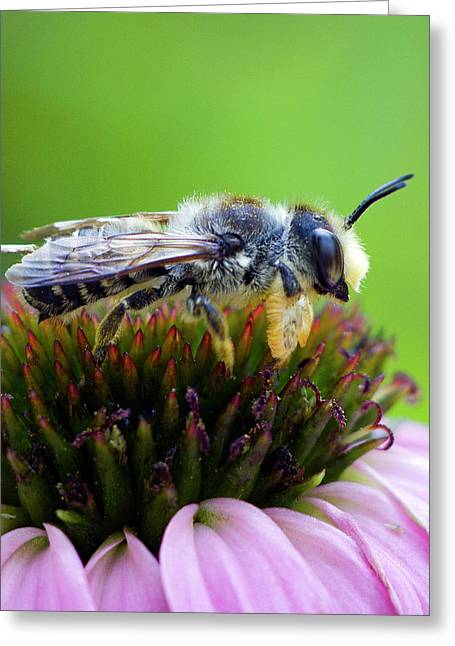 Honeybee In Coneflower Greeting Card