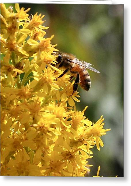 Honeybee On Showy Goldenrod Greeting Card