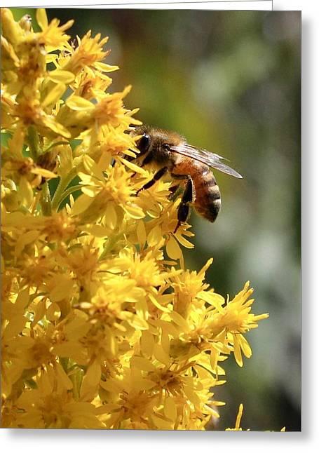 Honeybee On Showy Goldenrod Greeting Card