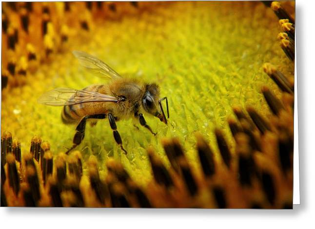 Greeting Card featuring the photograph Honeybee On Sunflower by Chris Berry