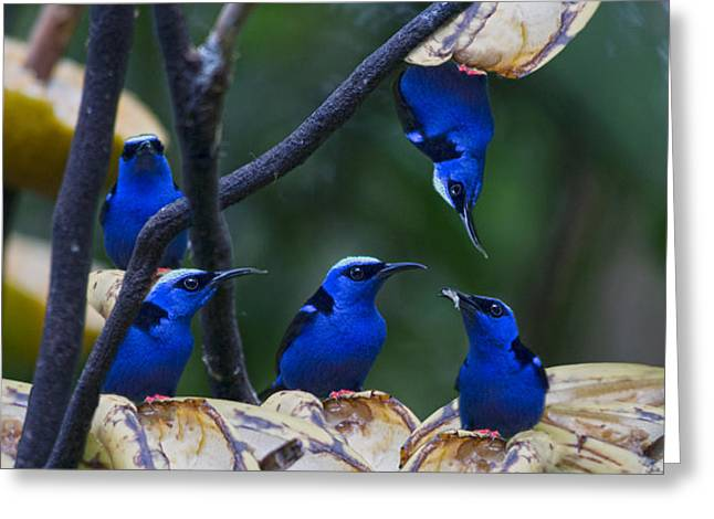 Honeycreeper Greeting Card