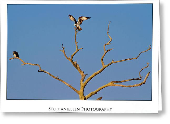 Honeymoon Osprey Greeting Card by Stephanie Hayes