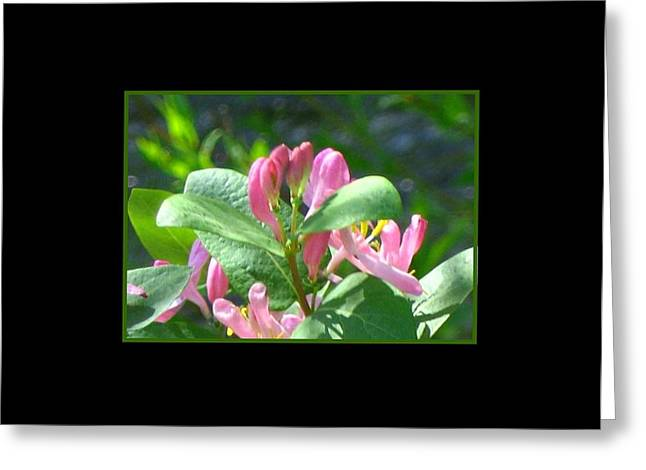 Honeysuckle Pink Photograph Greeting Card by Gretchen Wrede