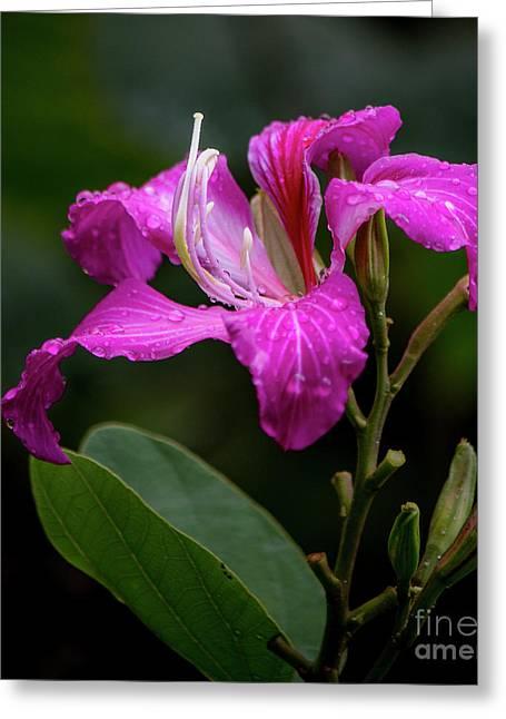 Hong Kong Orchid Greeting Card