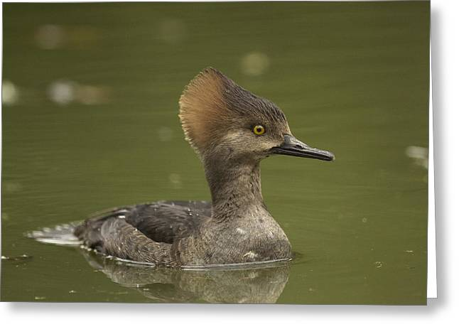 Hooded Merganser Greeting Card