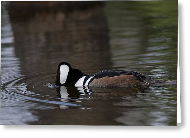 Hooded Merganser Preparing To Dive Greeting Card
