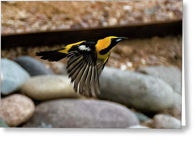 Greeting Card featuring the photograph Hooded Oriole H37 by Mark Myhaver