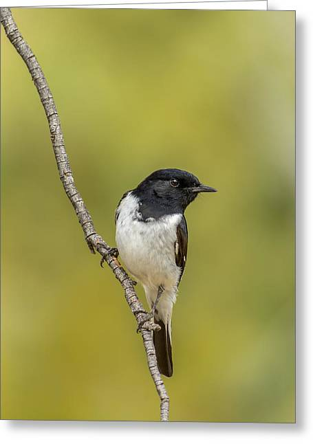 Hooded Robin Greeting Card