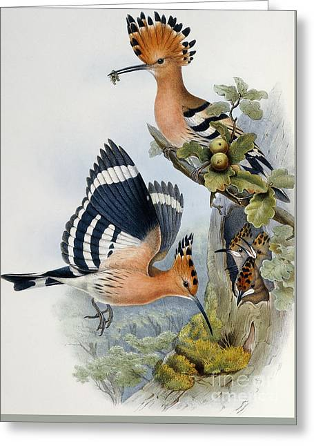 Hoopoe Greeting Card by John Gould
