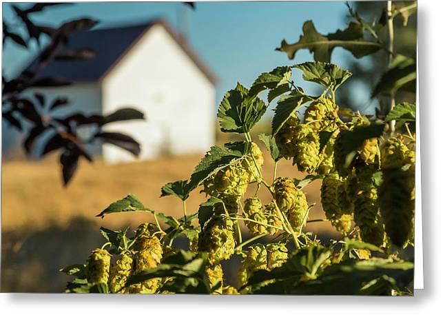 Greeting Card featuring the photograph Hops At Sunset by Mark Mille