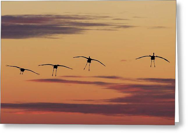 Horicon Marsh Cranes #4 Greeting Card
