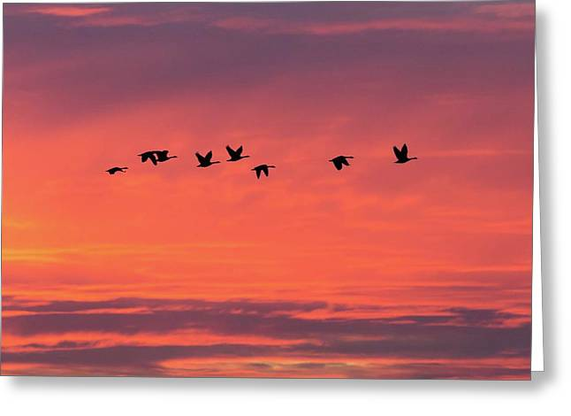 Horicon Marsh Geese Greeting Card