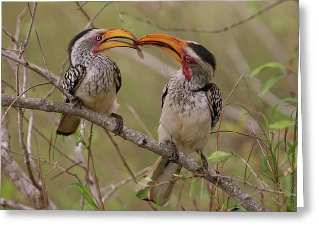 Hornbill Love Greeting Card
