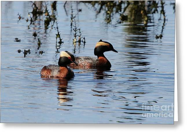 Horned Grebe Couple Greeting Card