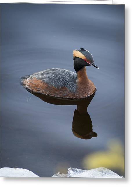 Horned Grebe Greeting Card