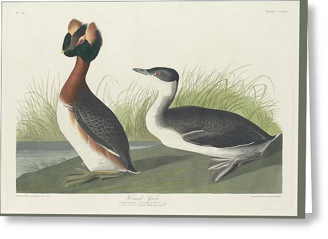 Horned Grebe Greeting Card by Rob Dreyer