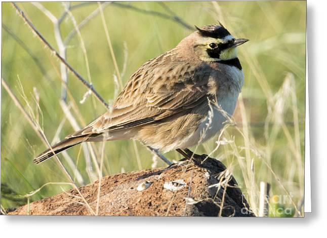 Horned Lark Greeting Card