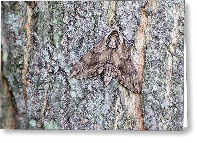 Hornworm Moth II Greeting Card