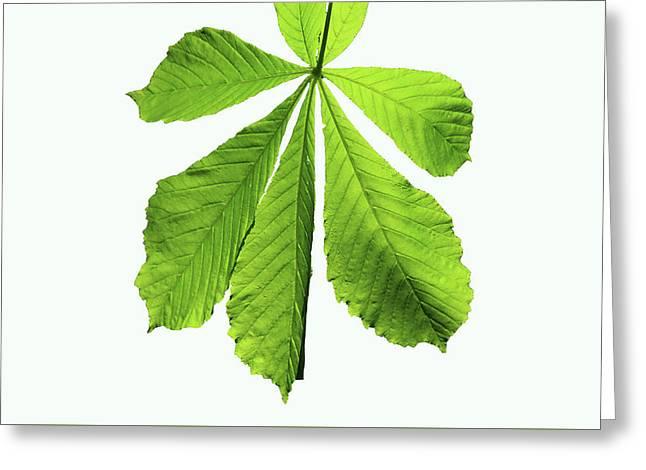 Horse-chestnut Leaf Greeting Card by Aidan Moran