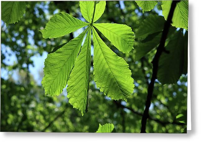 Horse-chestnut Tree Greeting Card by Aidan Moran