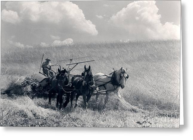 Horse-drawn Wheat Harvesting, C.1920-30s Greeting Card
