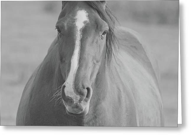 Horse Portrait Bw Greeting Card