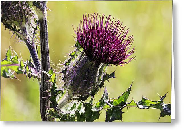 Horse Thistle 01 Greeting Card
