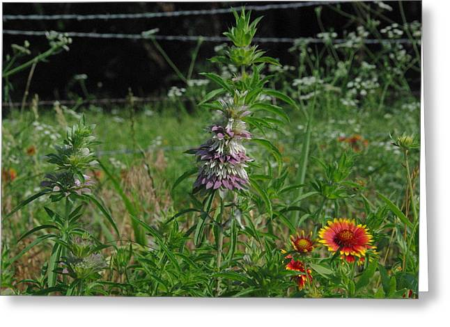 Horsemint Greeting Cards - Horsemint and Indian Blanket Greeting Card by Robyn Stacey