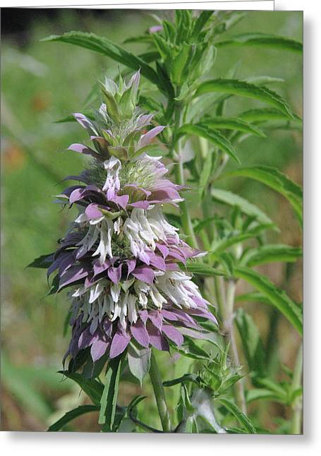 Horsemint Greeting Card by Robyn Stacey