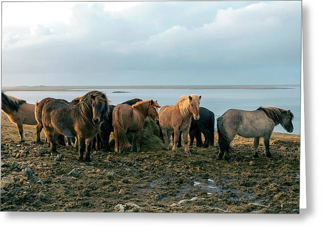 Horses In Iceland Greeting Card
