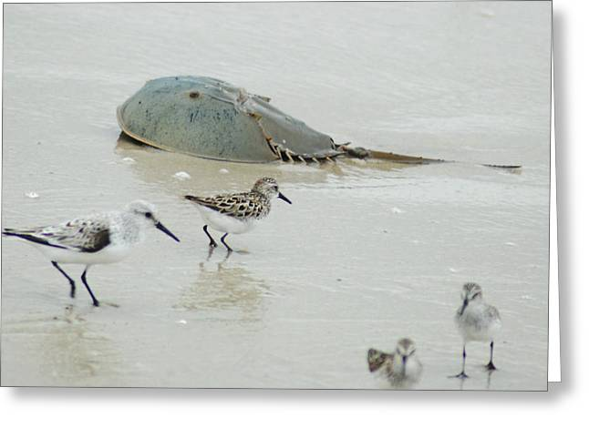 Greeting Card featuring the photograph Horseshoe Crab With Migrating Shorebirds by Richard Bryce and Family