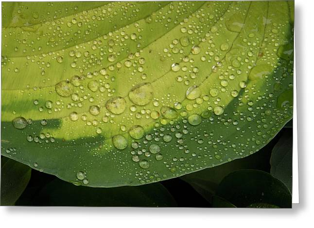 Greeting Card featuring the photograph Hosta Drops by Jean Noren