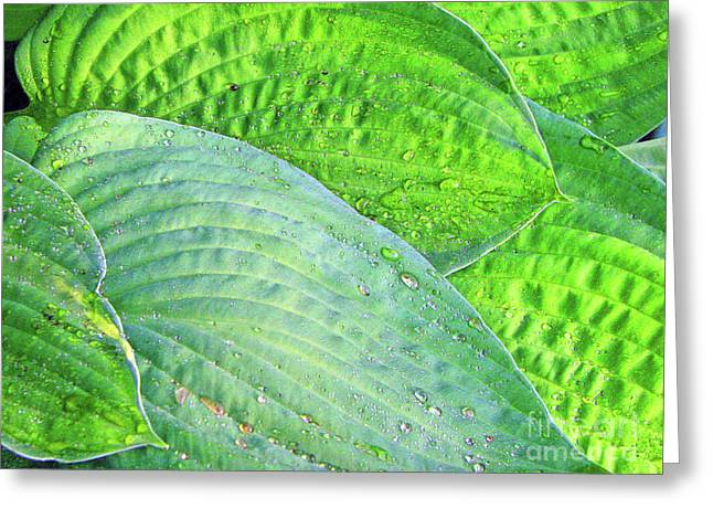 Greeting Card featuring the photograph Hosta Lavista Baby by Traci Cottingham