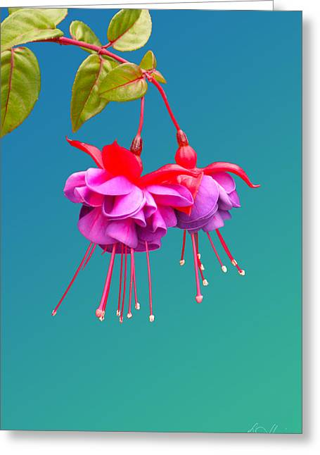 Hot Pink Fuchsias Greeting Card by Diana Haronis