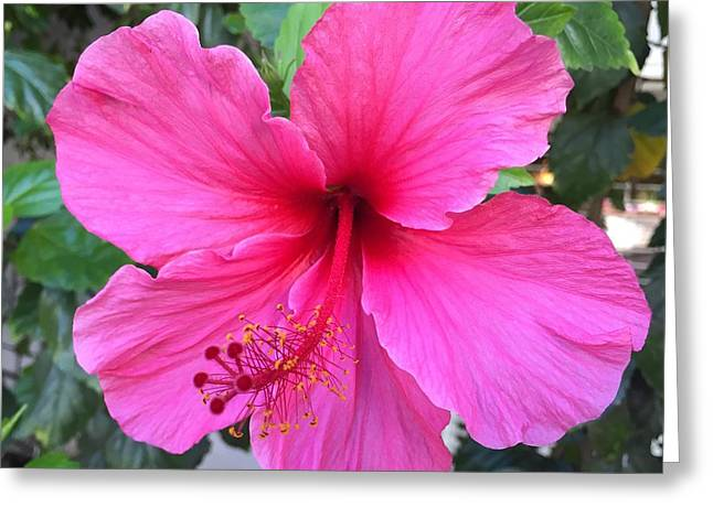 Hot Pink Hibiscus  Greeting Card