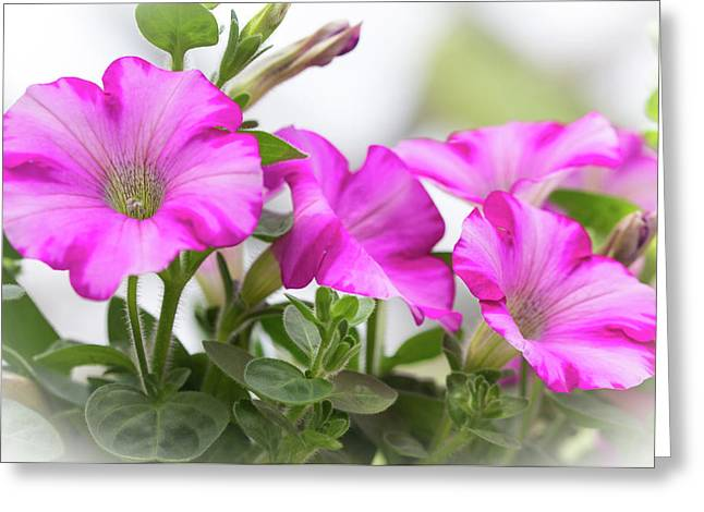 Hot Pink Petunias Greeting Card by Mother Nature