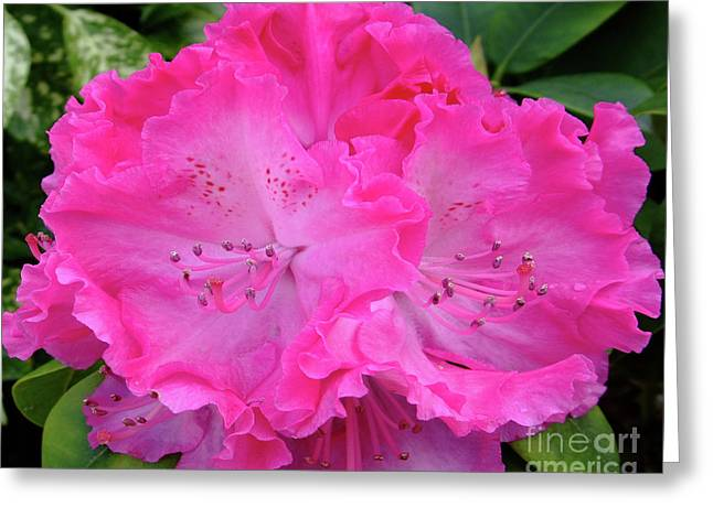 Hot Pink Rhoda Greeting Card