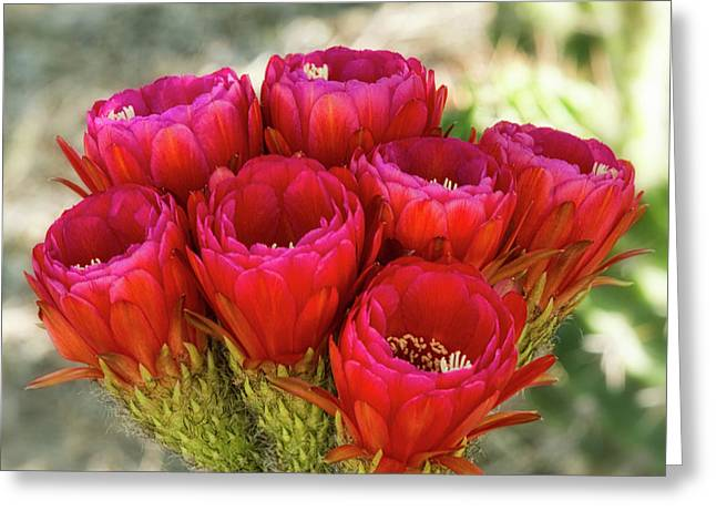 Greeting Card featuring the photograph Hot Pink Torch Cactus Bouquet  by Saija Lehtonen