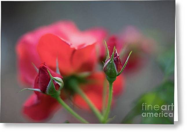 Hot Red Cinco De Mayo Roses Greeting Card by Mike Reid