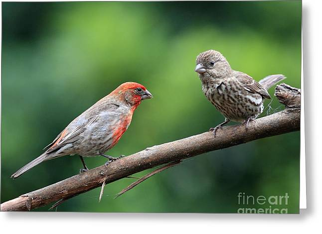 House Finch Courtship Greeting Card by Wingsdomain Art and Photography