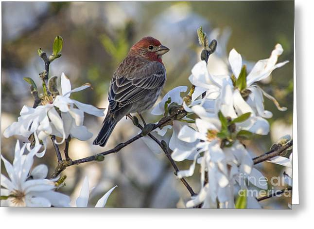House Finch - D009905 Greeting Card by Daniel Dempster