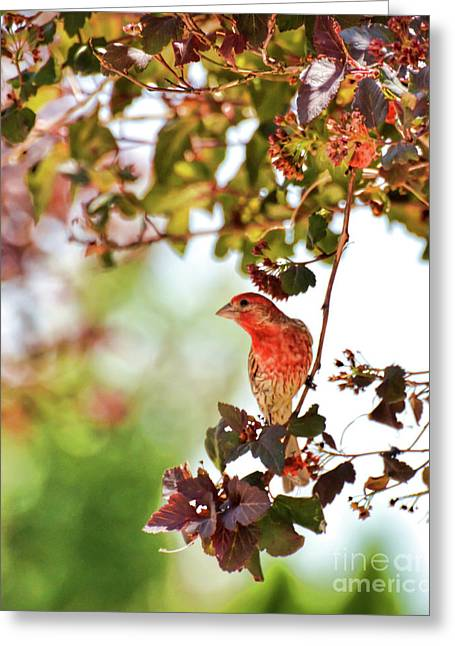 Greeting Card featuring the photograph House Finch Hanging Around by Kerri Farley