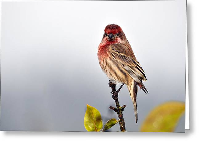 House Finch In Autumn Rain Greeting Card