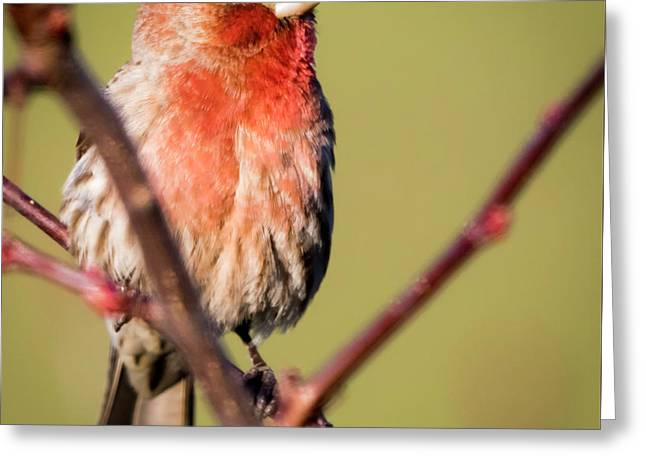 Greeting Card featuring the photograph House Finch In Full Color by Ricky L Jones