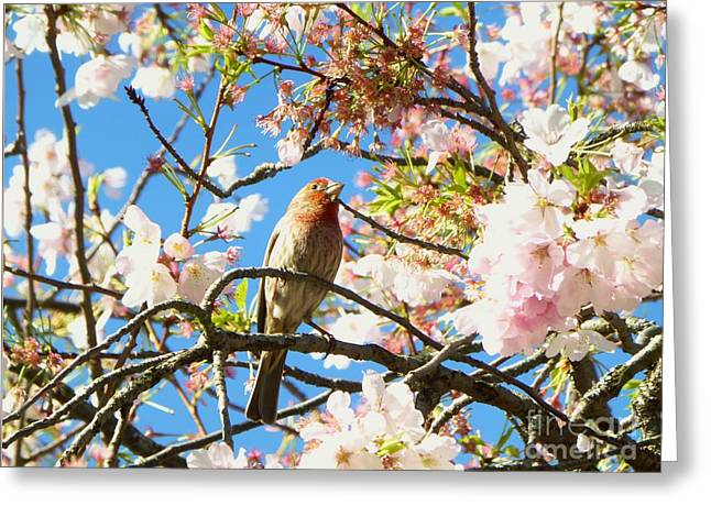 House Finch In The Cherry Blossoms Greeting Card