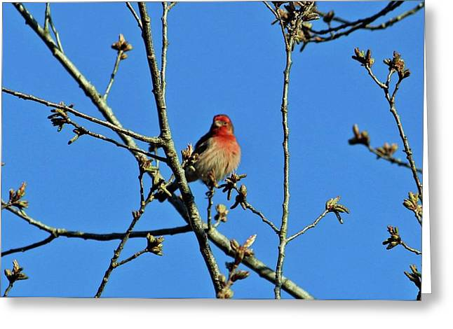 House Finch Male Greeting Card by Cynthia Guinn