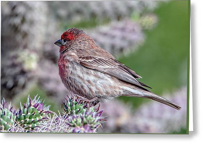 House Finch Male Greeting Card by Tam Ryan